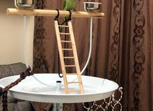 Tamed Indian Ring neck parrot with Parrot stand, Cage and accesories