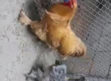 دجاج براهما العملاق