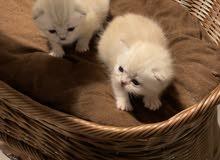 البيع قطط شيرازي