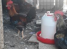 Omani male chicken