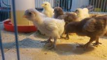 افراخ دجاج كوشن اشترالي وشعري عمر 12 يوم للبيع