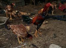 دجاج هراتي السعر ..175 الف