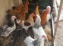 11 قطعه دجاج مشكل بسعر مناسب