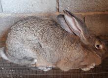 ارنب جامبو