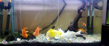 fish tank with 3 big and 2 medium koi fish and 2 Parrot fish and few other fish