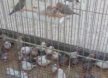عصافير فنجز للبيع