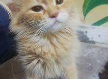 قطه شيرازيه جميله جدا وتحب تلعب معك العمر 11شهر