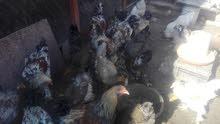 دجاج برهام