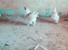 دجاج براهمي جامبو للبيع