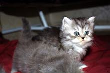 قطط شيرازي للحجز