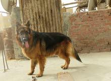 كلب جيرمن بمواصفات عالميه