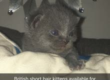 قطط بريتش شورت هير العمر ثلاث أسابيع ذكور واناث التواصل على الخاص او على الرقم 0522949115