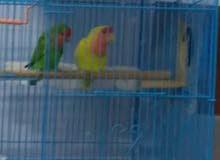 Healthy Rose Parrot الف. روز.