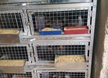 فري امهات سوبر جامبو للبيع 24 جوز مع قفص حجم كبير
