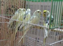خمس طيور رماديات زوجين مزاويج كبار سعر 100 او مراوس زوج كوكتيل شكري كبار بزارات
