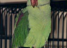 ALEXANDRINE, approx 12-15 months