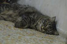 قطة انثى سيبيري