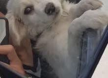 كلبه نوع لولو عمرها شهرين سريع التربيه والتعلم