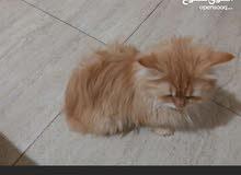 للبيع قطه شيرازي قابل للتفاوض