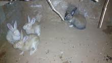 أرانب  عربيات