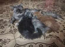 قطة شيرازي سلالة نقييييية وملكية