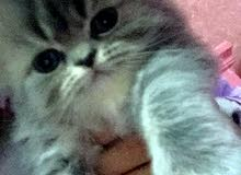4 قطط شيرازي للبيع