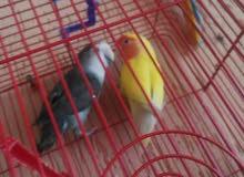مجموعه من الطيور  ببغاء روز  بلبل حجل