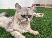 قط بيج فيس انثى