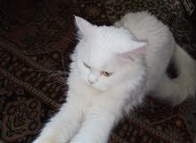 قطه عمرها سنه للبيع