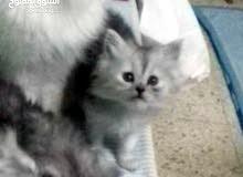 قطة انثى شيرازية/A Shirazi female cat