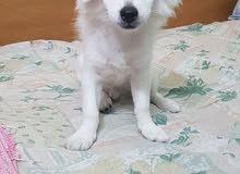Griffon dog for sale