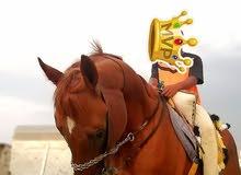 حصان سليم