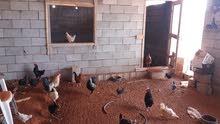 دجاج وطني للبيع