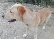 كلب لبرادور رويال