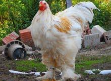 مطلوب  دجاج براهماء