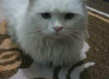 شيرازي انثى عمرها 7اشهر