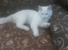 قطة شيرازي للبدل على دجاج