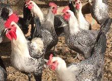 دجاج فيومي العمر سنه