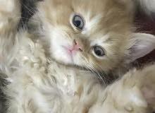 قطه جميله جداً للبيع تواصل انستا @cats5.0