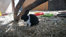 للبيع أرانب ذكور تهجين عماني هولندي