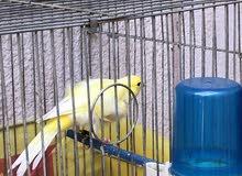 طيور كنار نخب للبيع او البدل