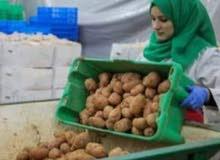 مطلوب عمال لفرز البطاطس براتب 2850 جنية