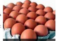 بيض دجاج فيومي مخصب  ذهبي