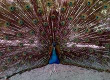 مطلوب زوج طاووس