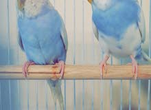 بادجي جاهزه (طيور الحب) جوز بسعر 200 ريال