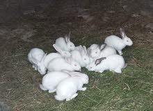 ارانب مالطيات