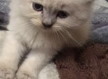 قطه شيرازية عمر شهرين