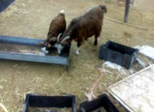 شاه وسخله للبيع تواصل على لواتس95498554