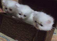 قطط شيرازي هاف بيكي فيس مكس هملايا للبيع