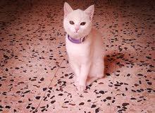 قطة شني نوعها